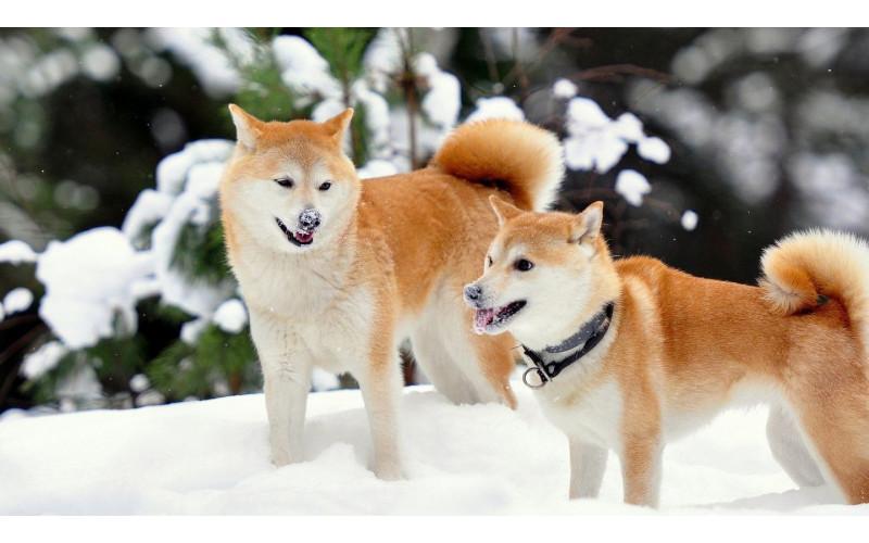 Differences Between Shiba Inu and Akita Dog