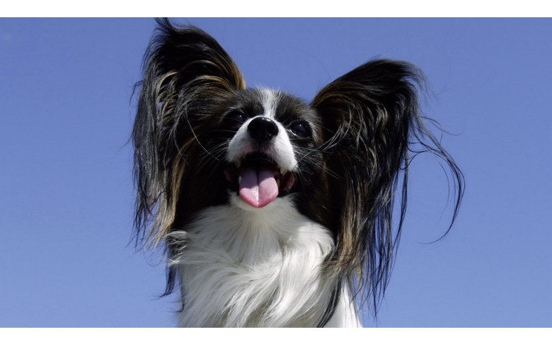 Do You Know Papillon Dogs?