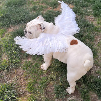 Dog Angel Wings Costume Fairy Ornament Feather Wing