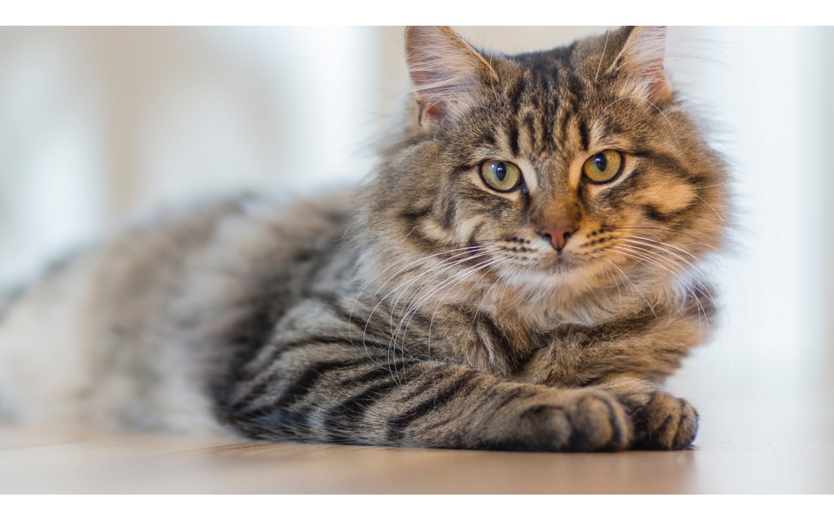 After Your Cat Gets Old, How to Deal with His Cleaning Problem?