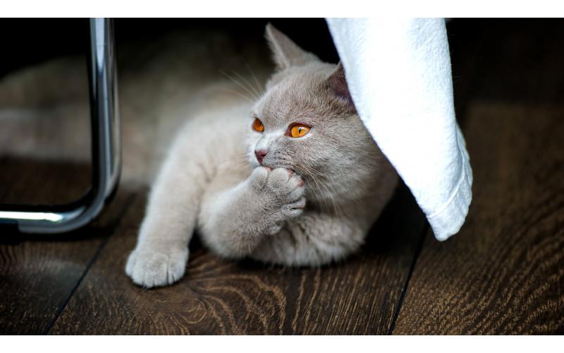 Feline Social Behavior