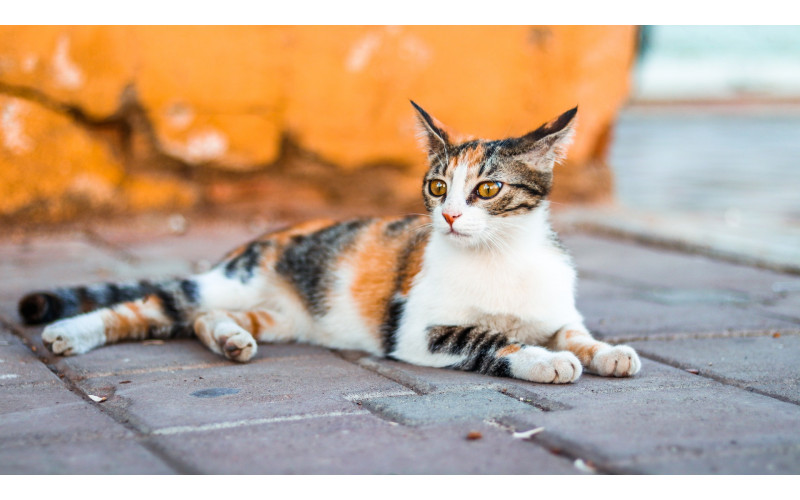 How to Take Care of a Pregnant Cat? (3)