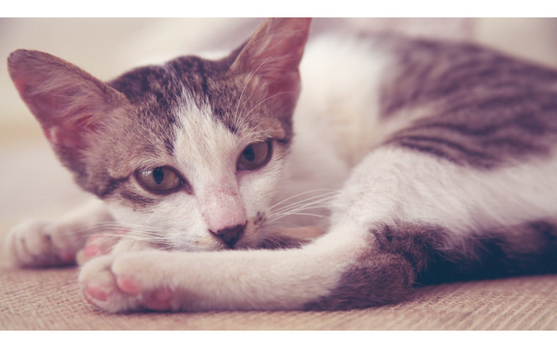 How to Take Care of a Pregnant Cat? (4)