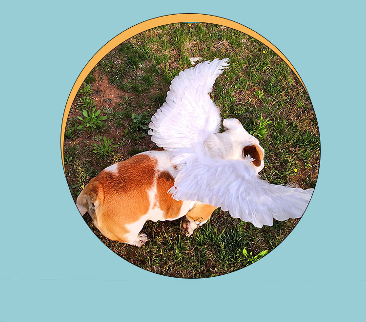 angel wings for small dogs