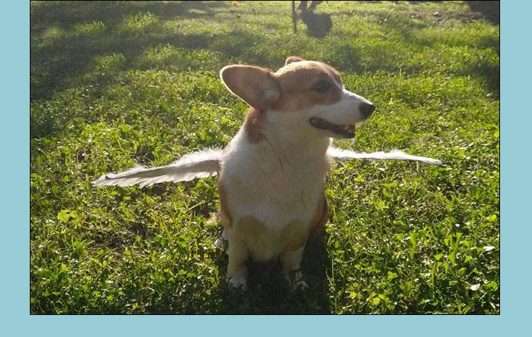 dog angel wings costume