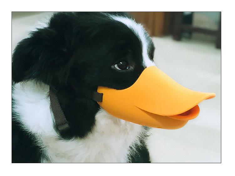 border collie wearing duck bill dog muzzle