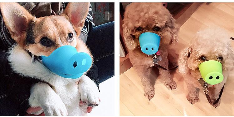 corgi wearing pig snout muzzle